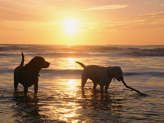 Labrador Retrievers Play in the Water at Sunset-Roy Toft-Photographic Print