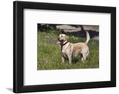 Labrador sees something of interest-Zandria Muench Beraldo-Framed Photographic Print
