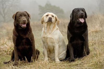 Labrador Yellow, Black and Chocolate--Photographic Print