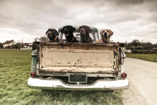 Labradors in a Vintage Truck Photographic Print by claire norman | Art com