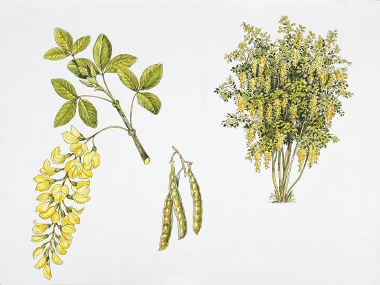 Laburnum Anagyroides Plant with Flower, Leaf and Fruit--Giclee Print