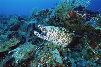 Laced Moray-Alexis Rosenfeld-Photographic Print