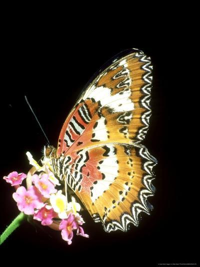 Lacewing Butterfly, Cethosia Biblis-Mike Slater-Photographic Print
