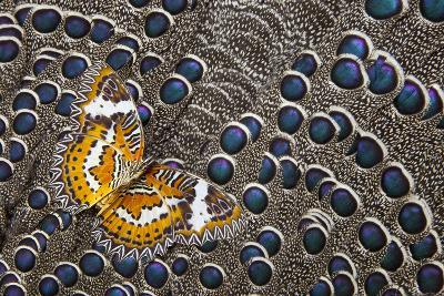 Lacewing Butterfly on Grey Peacock Pheasant Feather Design-Darrell Gulin-Photographic Print