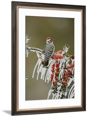 Ladder-backed Woodpecker perched on icy Yaupon Holly, Hill Country, Texas, USA-Rolf Nussbaumer-Framed Premium Photographic Print