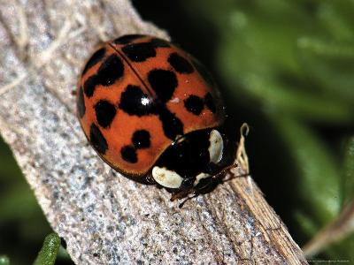 Lady Bug, Coccinellidae-Larry Jernigan-Photographic Print