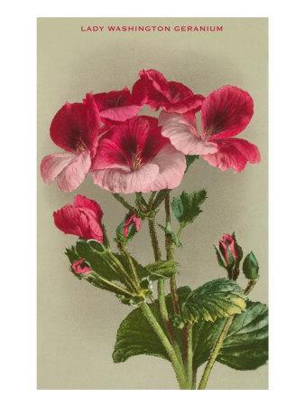 https://imgc.artprintimages.com/img/print/lady-washington-geranium_u-l-p7by5b0.jpg?p=0