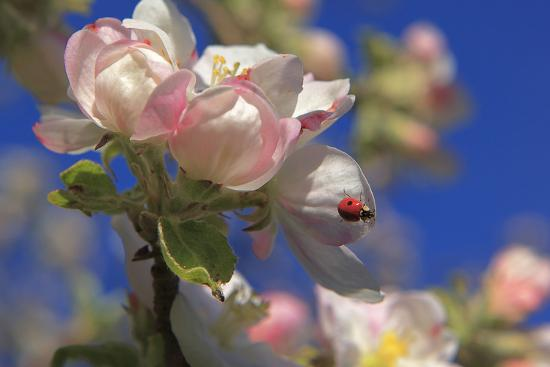 Ladybird on Apple Blossom-Ludwig Mallaun-Photographic Print