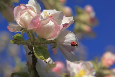 https://imgc.artprintimages.com/img/print/ladybird-on-apple-blossom_u-l-q1bxmg80.jpg?p=0