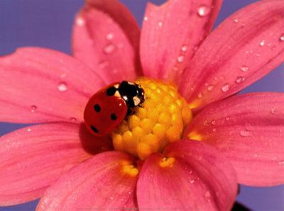 Ladybird-Ratier-Art Print