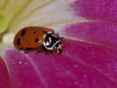 Ladybug Beetle-Adam Jones-Photographic Print