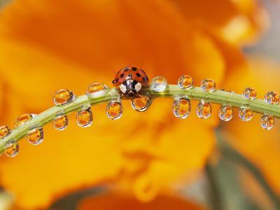 Ladybug Crawling-Craig Tuttle-Photographic Print