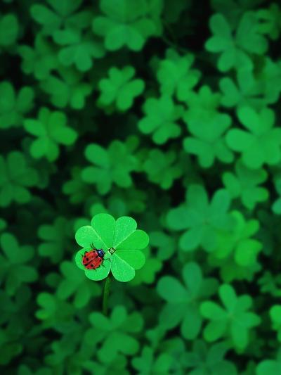 Ladybug on Four Leaf Clover-Bruce Burkhardt-Photographic Print