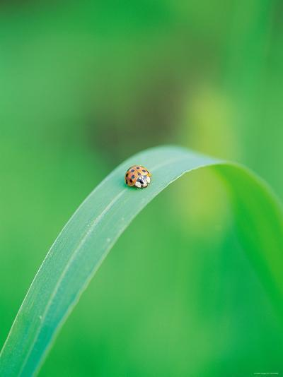 Ladybug Sitting in the Middle of a Leaf--Photographic Print