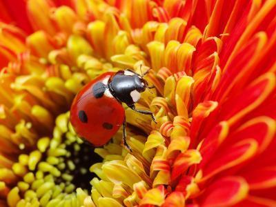 Ladybug- irin-k-Photographic Print