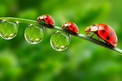 https://imgc.artprintimages.com/img/print/ladybugs-family-on-a-dewy-grass-close-up-with-shallow-dof_u-l-q1033lt0.jpg?p=0