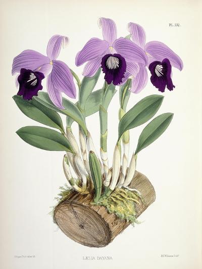 Laelia Dayana, C.1882-1897-Walter Hood Fitch-Giclee Print