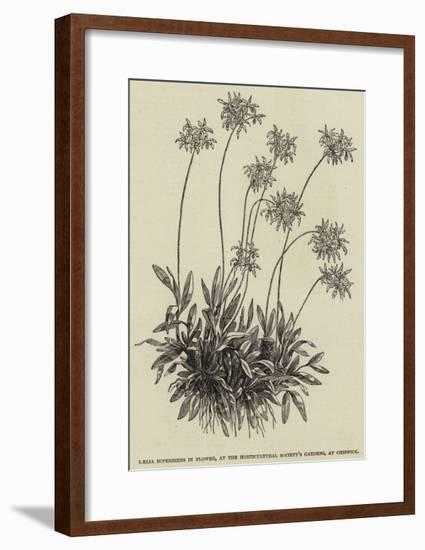 Laelia Superbiens in Flower, at the Horticultural Society's Gardens, at Chiswick--Framed Giclee Print