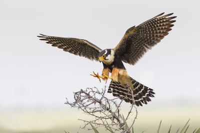 Laguna Atascosa Nwr, Texas. Aplomado Falcon Landing on Yucca-Larry Ditto-Photographic Print