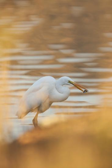 Lake Murray. San Diego, California. a Great Egret and Catch-Michael Qualls-Photographic Print