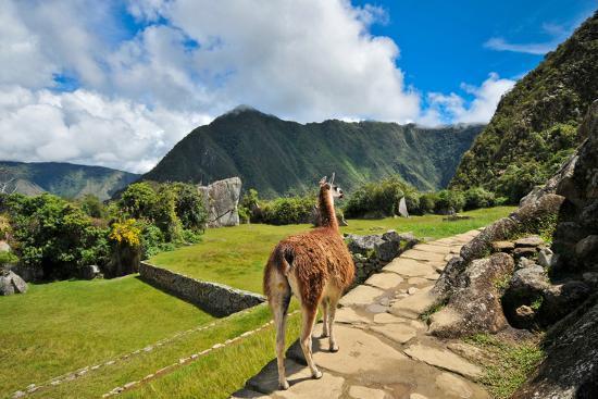 Lama at Machu Picchu-Jose Antonio Maciel-Photographic Print