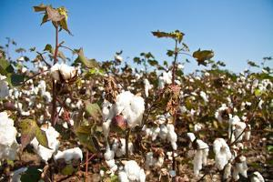 Close up of Cotton Plants by Lamarinx