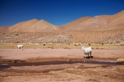 https://imgc.artprintimages.com/img/print/lamas-in-atacama-desert-chile_u-l-q104dy20.jpg?p=0
