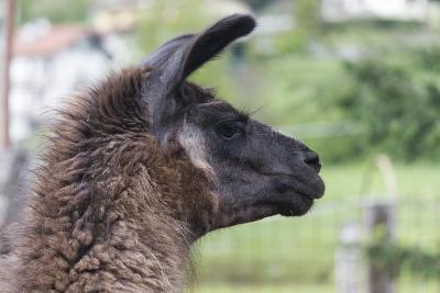 Lamas in the Farm-spetenfia-Photographic Print