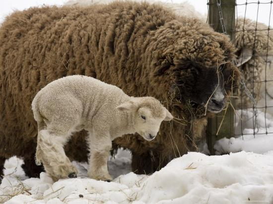 Lamb and Sheep in the Snow, Massachusetts-Tim Laman-Photographic Print