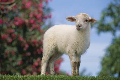 Lamb in Grass-DLILLC-Photographic Print