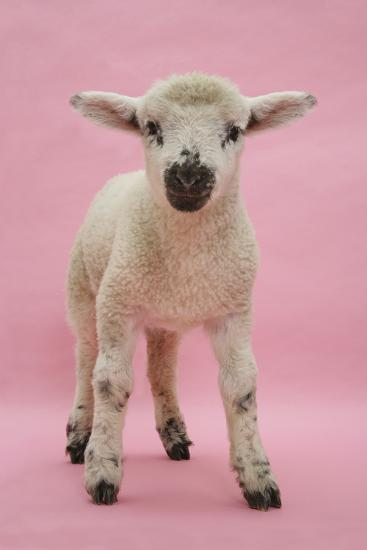 Lamb Portrait-Mark Taylor-Photographic Print