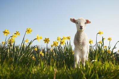 Lamb Walking in Field of Flowers-Peter Mason-Photographic Print