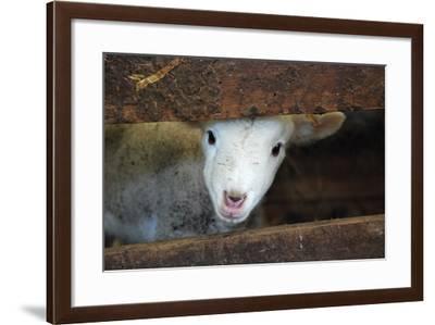 Lamb-Christy Majors-Framed Photographic Print