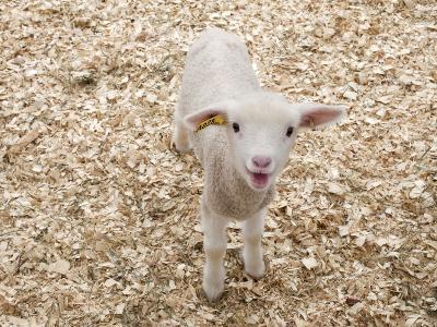 Lamb-Evan Sklar-Photographic Print