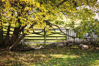 Lambs II-Alan Hausenflock-Photographic Print