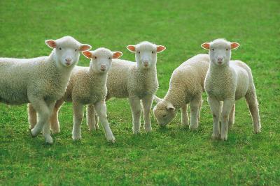 Lambs, near Werribee, Victoria, Australia-Peter Walton Photography-Photographic Print