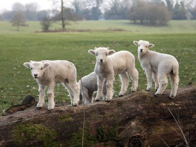 Lambs Playing on a Log in Stourhead Parkland, South Somerset, Somerset, England, United Kingdom--Photographic Print