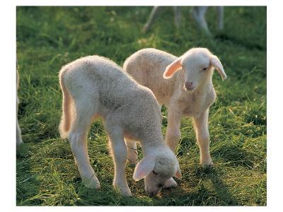 Lambs--Art Print
