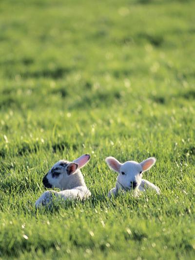 Lambs-Jeremy Walker-Photographic Print