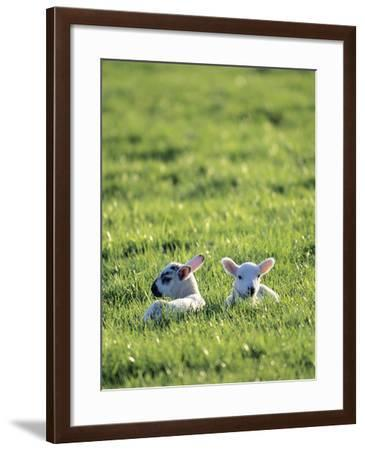 Lambs-Jeremy Walker-Framed Photographic Print