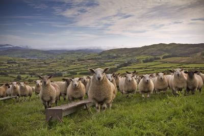Lambs-Photograph taken by Alan Hopps-Photographic Print