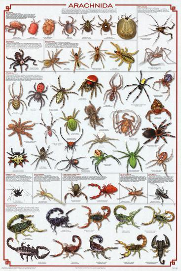 Laminated Arachnida Spiders Educational Science Chart Poster--Laminated Poster