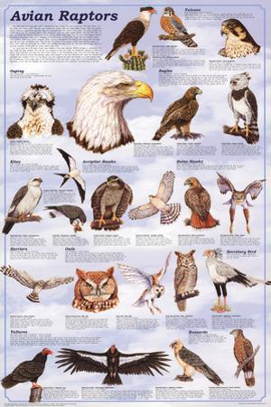 Laminated Avian Raptors Birds Of Prey Educational Science Chart Poster