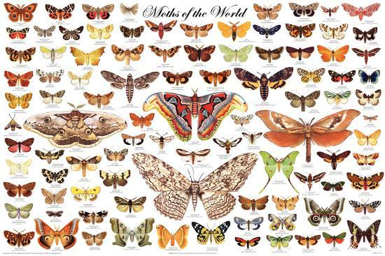 Laminated Moths of the World Educational Science Chart Poster--Laminated Poster