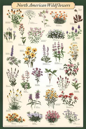 Laminated North American Wildflowers Educational Science Chart Poster--Laminated Poster