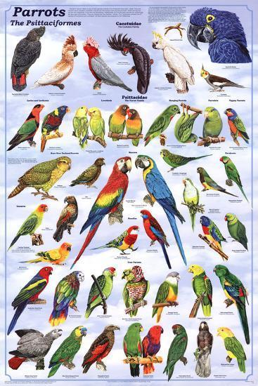 Laminated Parrots Educational Bird Chart Art Poster--Laminated Poster