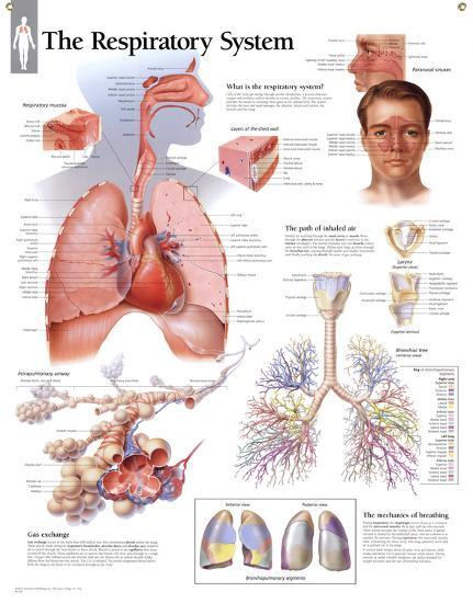 Laminated Respiratory System Educational Chart Poster--Laminated Poster