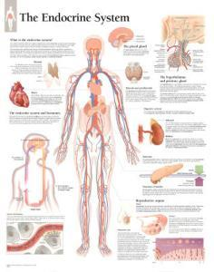 Laminated The Endocrine System Educational Chart Poster
