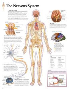 Laminated The Nervous System Educational Chart Poster