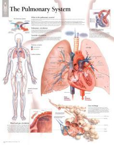 Laminated The Pulmonary System Educational Chart Poster